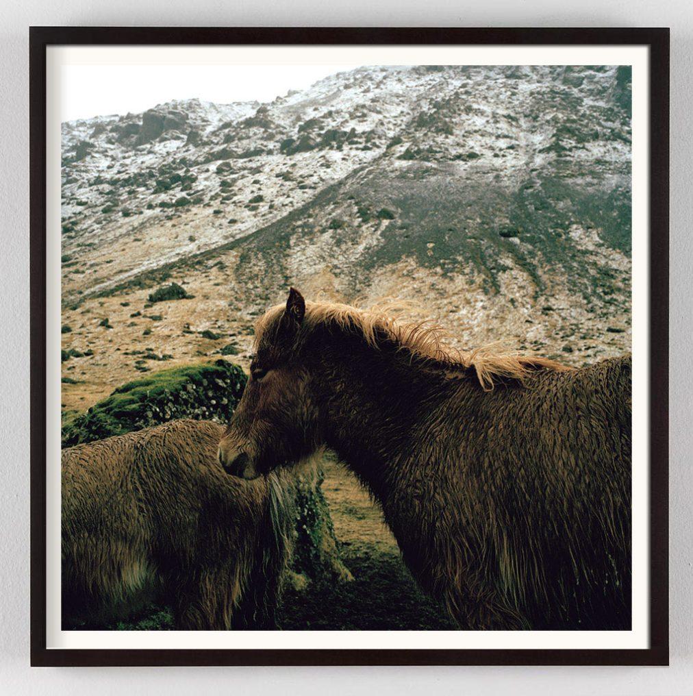 Icelandic Horse Photograph