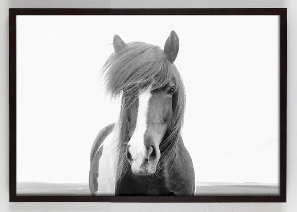 black and white photograph of Horse with white stripe