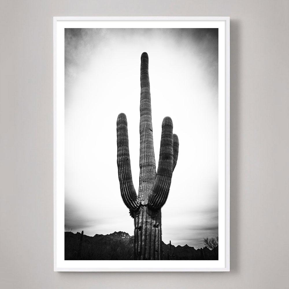 giant Saguaro cactus photograph